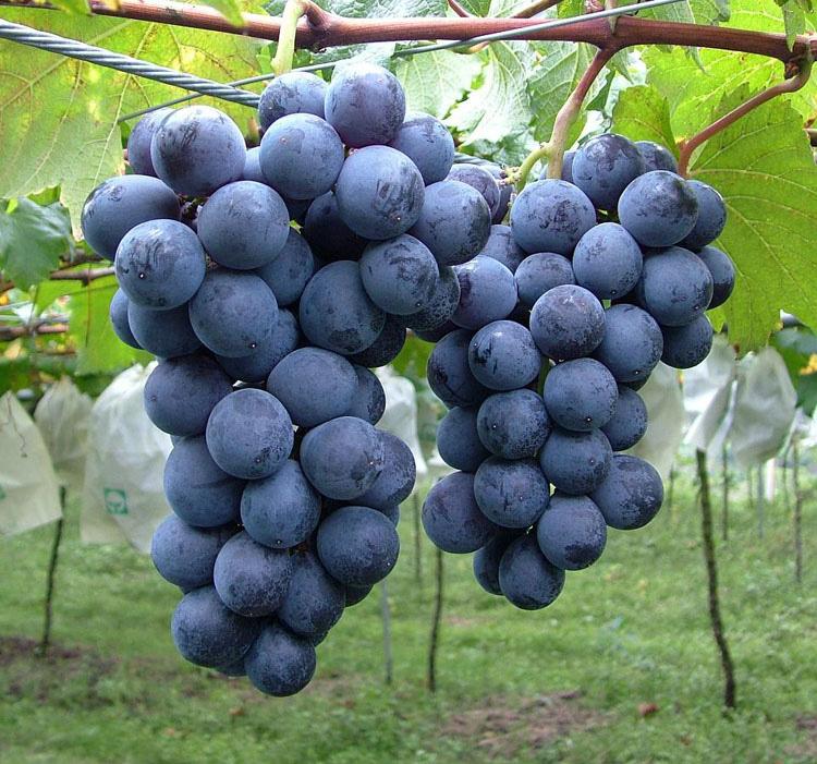 精品巨峰葡萄